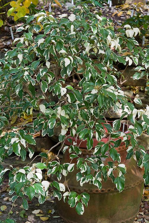 Hedera rhomboidea Creme de Menthe in pot container, variegated climbing ivy