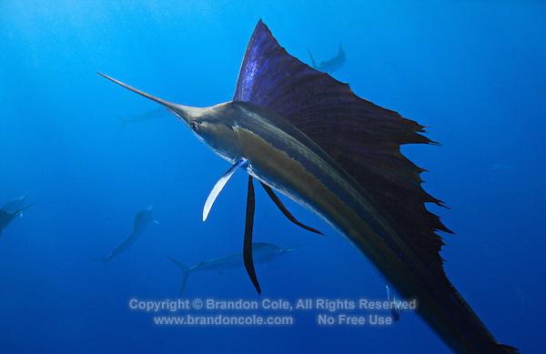 qh0762-D. Atlantic Sailfish (Istiophorus albicans). Note some consider this to be the same species as the Indo-Pacific Sailfish (I. platypterus). Mexico, Gulf of Mexico..Photo Copyright © Brandon Cole. All rights reserved worldwide.  www.brandoncole.com..This photo is NOT free. It is NOT in the public domain. This photo is a Copyrighted Work, registered with the US Copyright Office. .Rights to reproduction of photograph granted only upon payment in full of agreed upon licensing fee. Any use of this photo prior to such payment is an infringement of copyright and punishable by fines up to  $150,000 USD...Brandon Cole.MARINE PHOTOGRAPHY.http://www.brandoncole.com.email: brandoncole@msn.com.4917 N. Boeing Rd..Spokane Valley, WA  99206  USA.tel: 509-535-3489