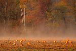 Pumpkin fields on a misty morning in northeast PA