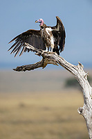 Lappet-faced Vulture (Aegypius tracheliotus) drying its wings, Maasai Mara National Reserve, Kenya, Africa