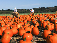 Pumpkins galore and ghosts and green fields and hills soft blue skies - Halloween away from the city.
