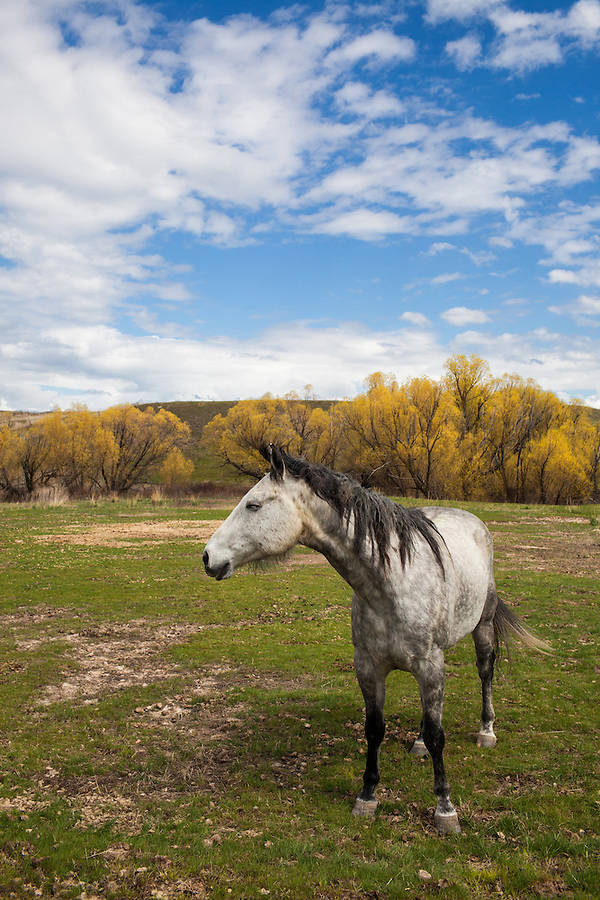 An elder white horse stands in a grassy pasture in Western Montana with puffy white clouds overhead in a blue sky.