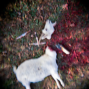 Goat sacrificed. New year in Abkhazia.  Gudauta town. 2011