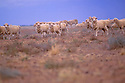 Sheep in paddock, western New South Wales
