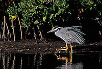 Yellow-crowned Night-Heron, Nyctanassa violacea, adult walking, Ding Darling National Wildlife Refuge, Sanibel Island, Florida, USA