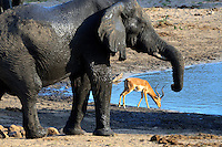 a Gentle Giant and a Graceful Impala at a waterhole..(Loxodonta Africana and Aepyceros Melampus)..Fall, March 2007..Tembe Elephant Park, Kwazulu-Natal, South Africa.