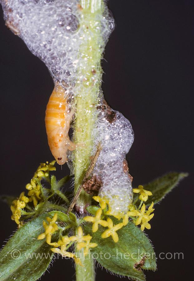 Wiesenschaumzikade, Wiesen-Schaumzikade, Larve mit Kuckucksspucke, Kuckucksspeichel, Hexenspucke, Philaenus spumarius, Meadow Froghopper, larva, nymph with cuckoo spit