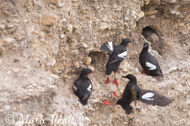 Pigeon Guillemots (Cepphus columba), flying in to land on cliff face near nest holes, Montana De Oro State Park, California, USA