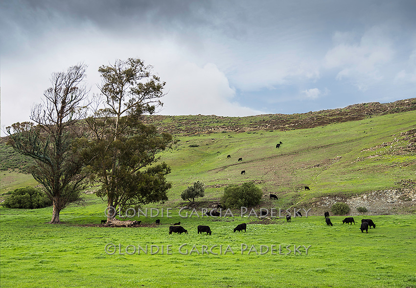 Cows grassing on wet winter grasses. At the ranch in San Luis Obispo, California