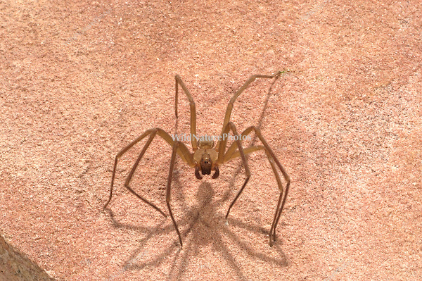 The Arizona Recluse, Loxosceles arizonica; Sonoran Desert, Arizona