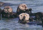 FB-S99, sea otters