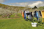 Eck apple orchard in bloom with clothesline. Route 654.