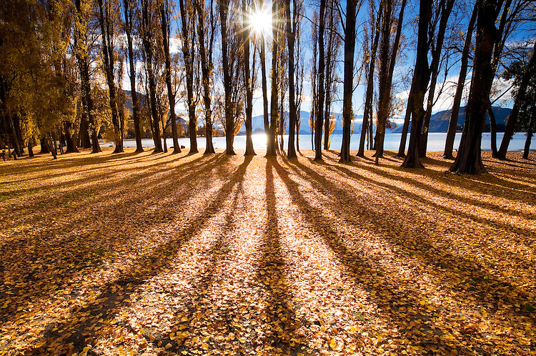 Sunstar, golden autumn poplar trees, Lake Wanaka, New Zealand - stock photo, canvas, fine art print