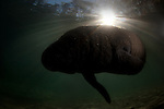 Silhouette of manatee at sunrise
