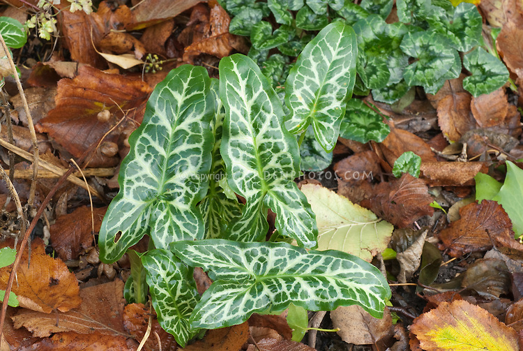 Arum italicum 'Marmoratum' with Cyclamen in leaves leaf litter, two variegated shade plants