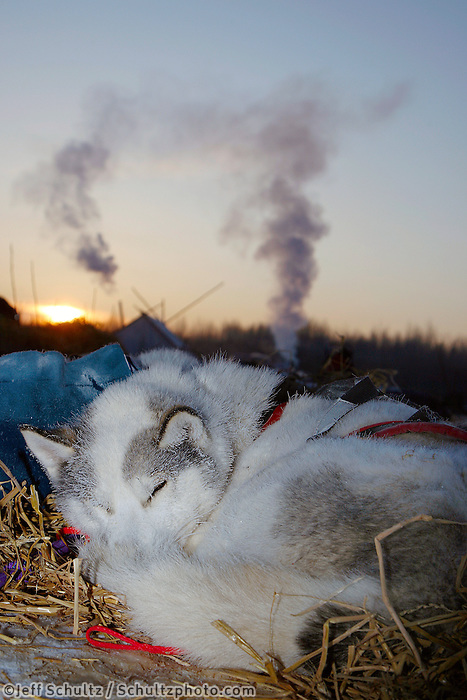 Wednesday  March 10 , 2010  One of Karen Ramstead's Siberian Huskie lead dogs sleeps as the sun rises at the Nikolai checkpoint at 25 below zero. In the background smoke from the checker tent rises.