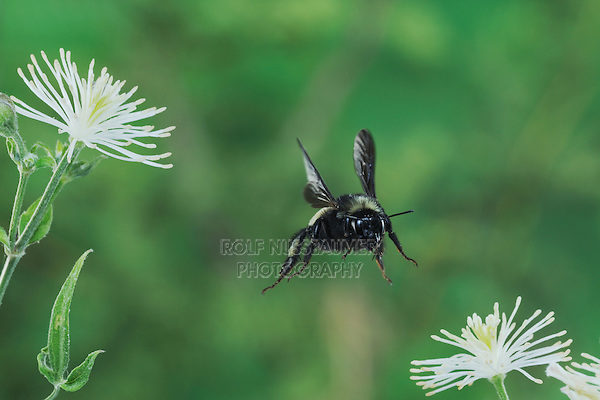 Bumblebee (Bombus sp.), adult in flight among Old man's beard (Clematis drummondii), Dinero, Lake Corpus Christi, South Texas, USA