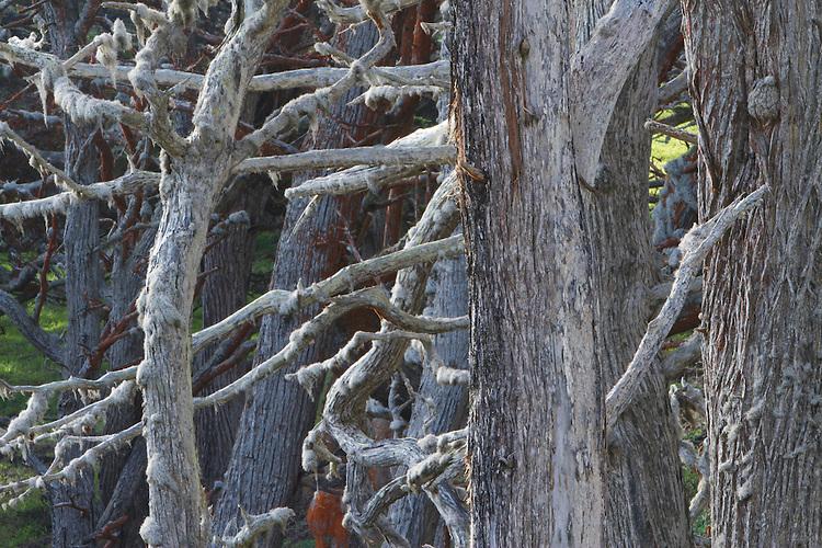 Monterey cypress in fog ( cupressus macrocarpa )