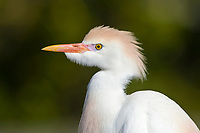 Cattle Egret - Bubulcus ibis - coming in to breeding plumage