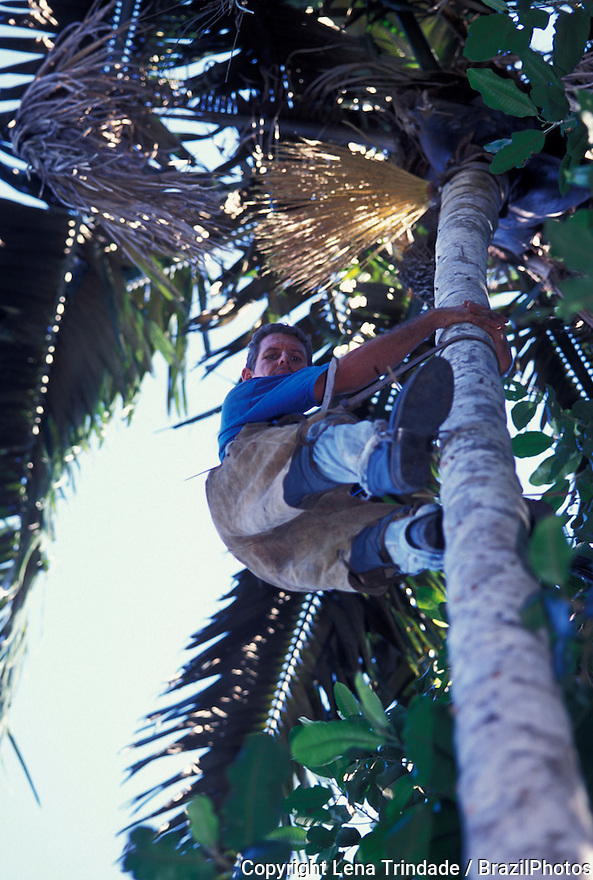 Craftsmanship using natural resources, rainforest people gather patauá palm straw ( Oenocarpus-Jessenia ) for making baskets, Alta Floresta region, Amazon rainforest, Mato Grosso State, Brazil. Sustainable development, conservation, conservancy.