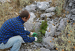 ALBANIA, Berat, collecting of wild natural herbal and medical plants in the mountains for export company GJEDRA- medicinal and aromatic plants, wild sage / ALBANIEN, Berat, Sammeln von wilden Heilkraeutern in den Bergen fuer Export Firma Gjedra, wilder Salbei, Sammler Petrica Ngjelai