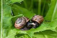 Gefleckte-Schnirkelschnecke, Gefleckte Schnirkelschnecke, Gefleckte Bänderschnecke, Baumschnecke, Paarung, Kopula, Kopulation, wechselseitige Befruchtung durch die Zwitter, Schnirkel-Schnecke, Arianta arbustorum, orchard snail, copse snail