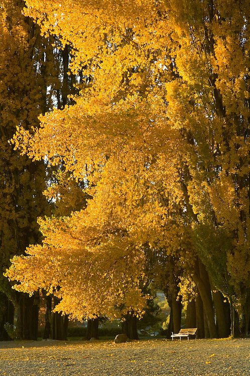 Sunlit Poplar, Lake Wanaka, New Zealand - stock photo, canvas, fine art print