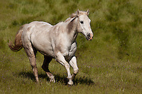 White horse galloping through a field