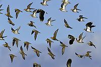 Golden Plover - Pluvialis apricaria