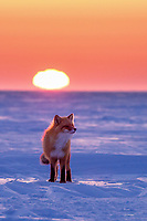 A red fox cruises the tundra of Alaska's north slope in search of its next meal during a vibrant sunset.