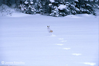 Snowshoe hare hopping across the snow
