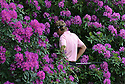 Ian Poulter (ENG) takes a look at his lie in the rhododendrons on the 18th hole during the first round of the 2005 BMW PGA Championship played on the West Course, Wentworth. Picture Credit / Phil Inglis