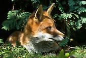 Kingston upon Thames, England. Fox in a suburban garden.