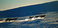 Running reindeer,Forollhogna,Norway