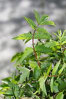 Echtes Mädesüß, Mädesüss, junge Blätter vor der Blüte, Filipendula ulmaria, Meadow Sweet, Quenn of the Meadow, Reine des prés
