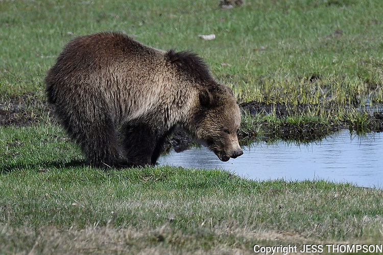 Grizzly Bear Cub in Yellowstone takes a drink of water.