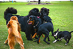 Dogs playing at Markham Dog Park in Weston Florida.