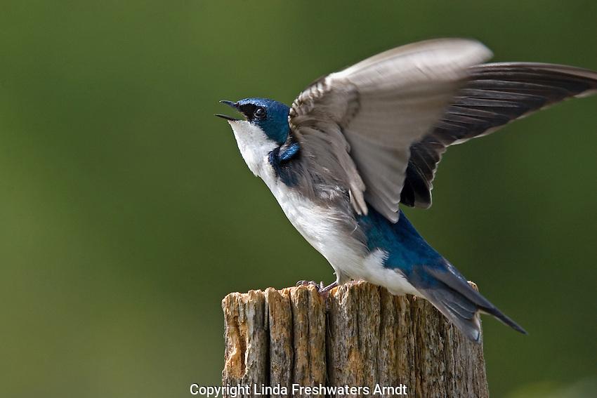Tree swallow (Tachycineta bicolor) defending territory.  Summer. Winter, WI.