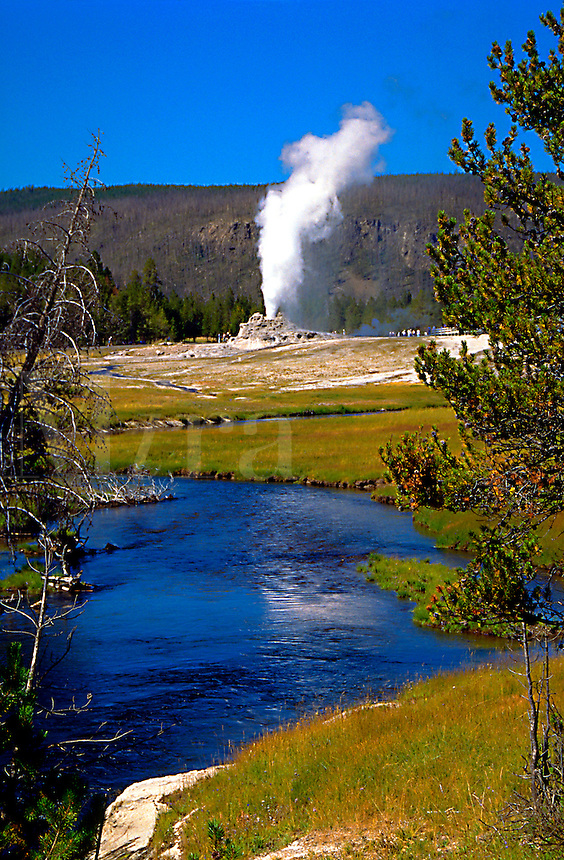 Tree branches frame a distant view of a geyser gushing steam at Yellowstone National Park. High color contrast landscape of - sky, hills, grass and water. Wyoming.