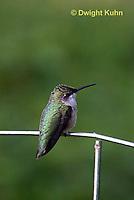HU02-509z  Ruby-throated Hummingbird resting on garden fence, Archilochus colubris.