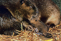 North American Beaver (Castor canadensis) mother with young in lodge.
