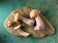 Fresh picked wiild organic Pied Bleu Mushrooms (Clitocybe nuda), blewitt or Blue Foot mushrooms