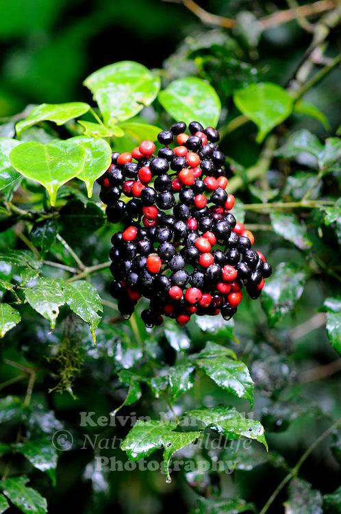 Rainforest fruits | Kelvin Marshall Nature & Wildlife Photography