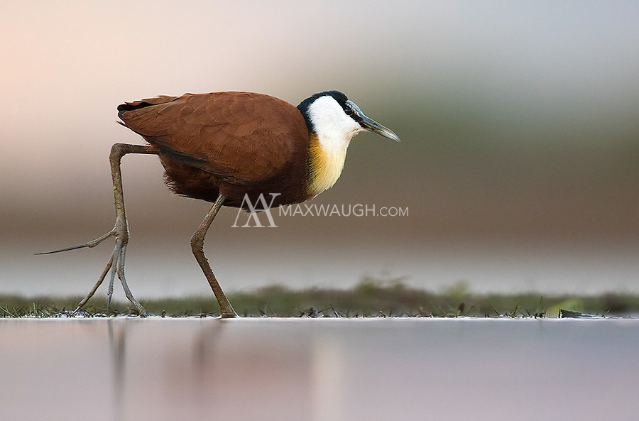 An African jacana uses its large feet to wade over unsteady wetland vegetation.