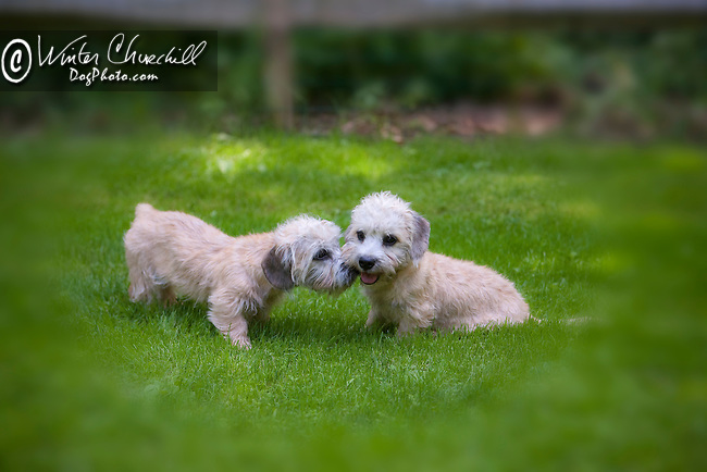 Dandie Dinmont Terrier<br />