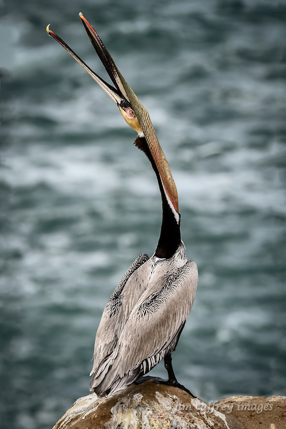 A Brown Pelican at La Jolla Cove near San Diego, California tosses its head to stretch the gular pouch, an behavior used to keep the pouch flexible and healthy.