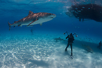 Divers with tiger sharks (Galeocerdo cuvier) at Tiger Beach, Bahamas