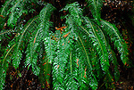 Sword ferns in rain at Butano State Park