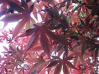 Crimson Leaves - Kyoto, Japan