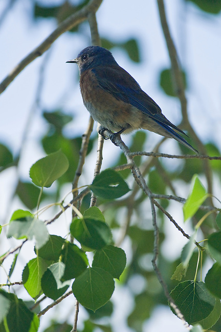 Western bluebird, Sialia mexicana, perched, aspen, branch, bird, summer, June, morning, wildlife, nature, Beaver Meadows, Rocky Mountain National Park, Colorado, USA